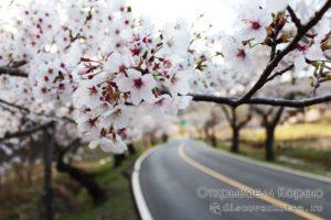 Сакура в Корее — Цветение вишни 2020