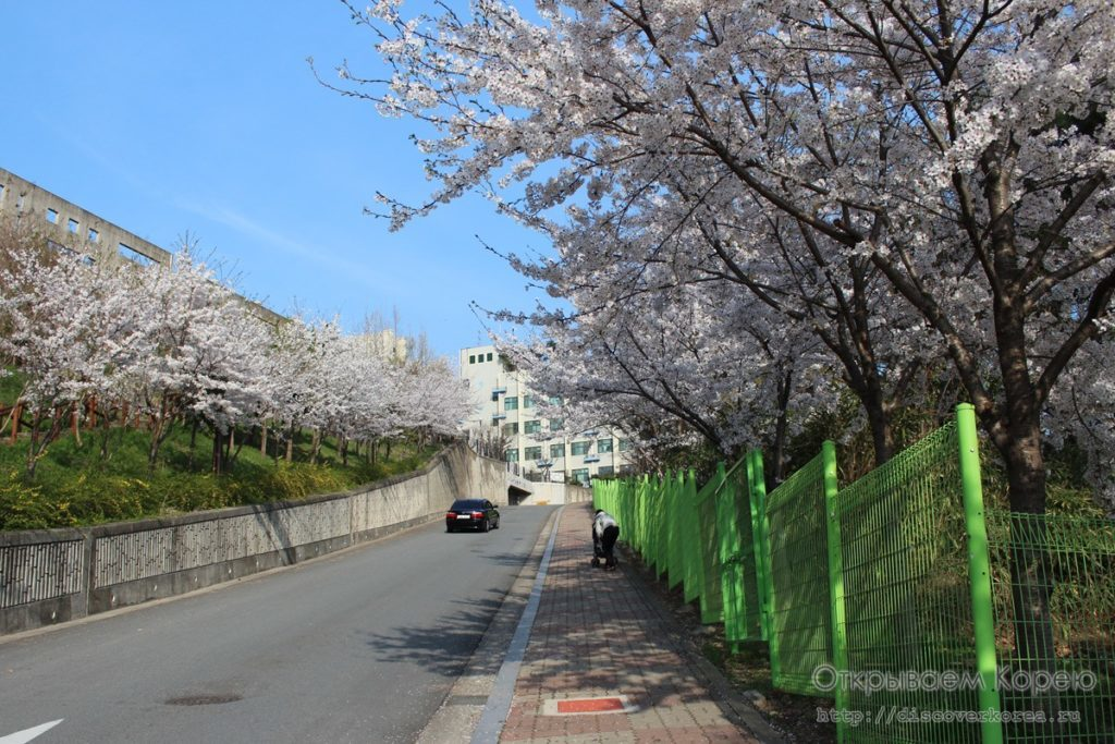 Цветение вишни в Чосоне1