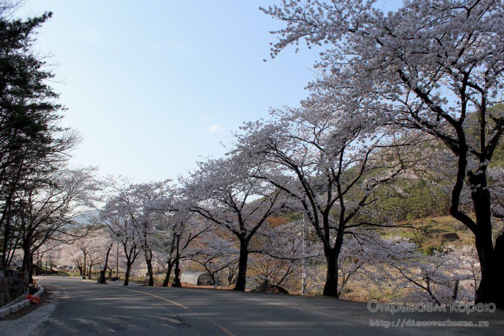 Цветение вишни в Корее2