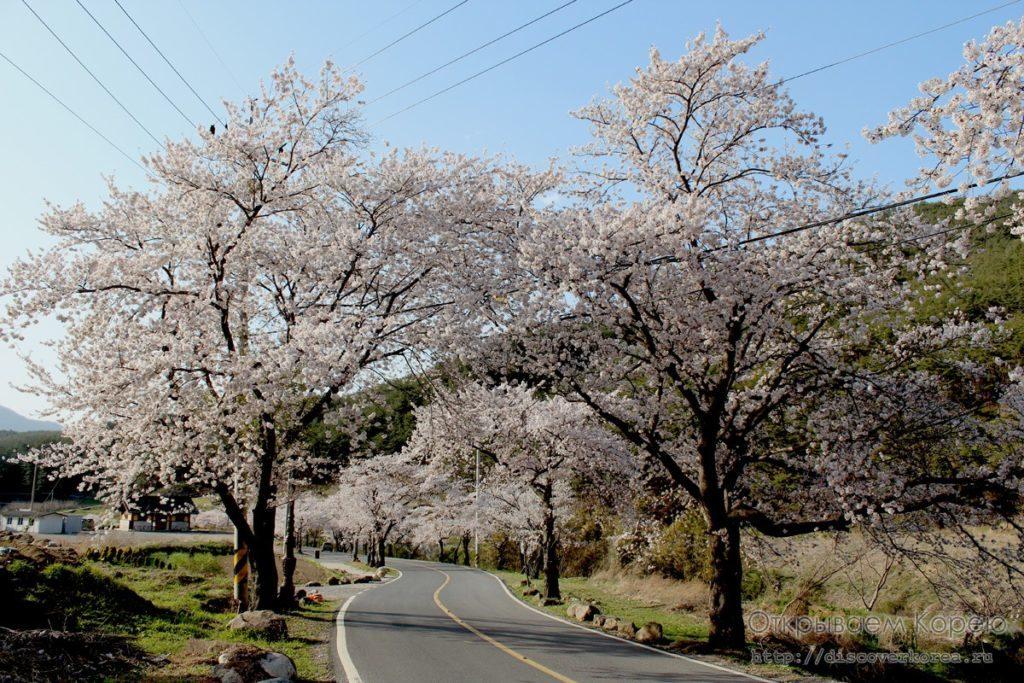 Цветение вишни в Корее3