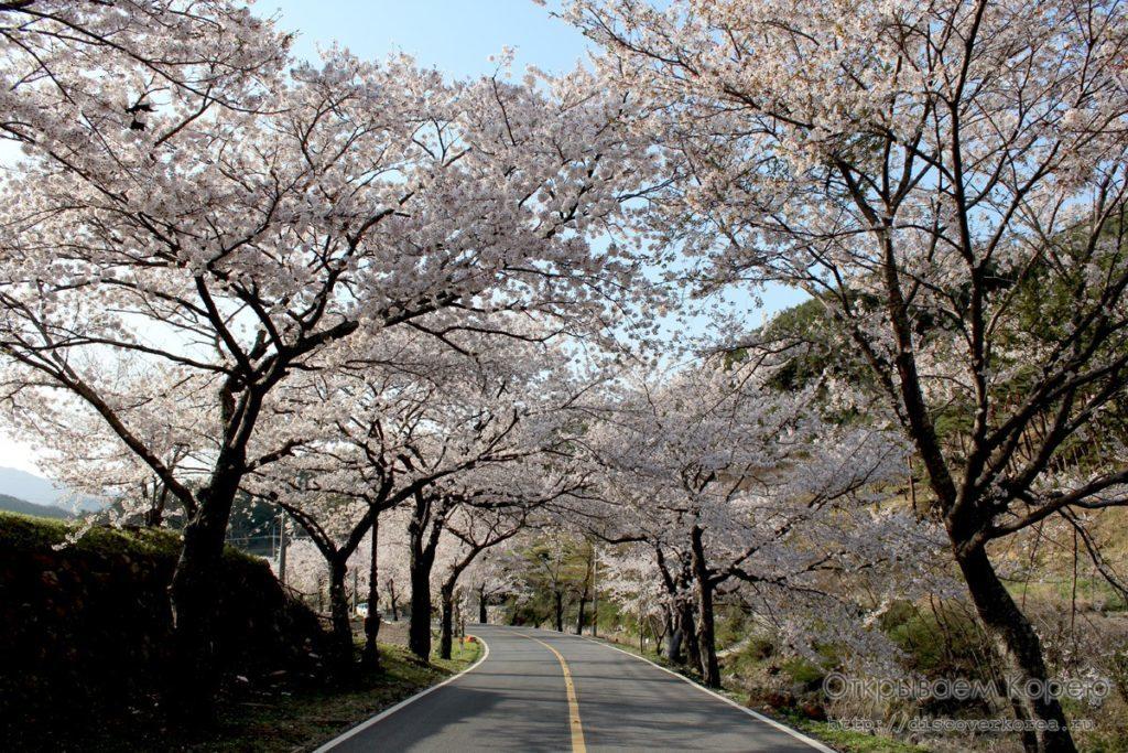 Цветение вишни в Корее4