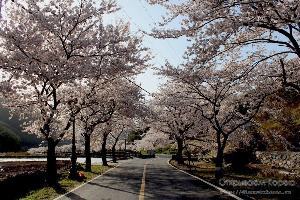 Цветение вишни в Корее5