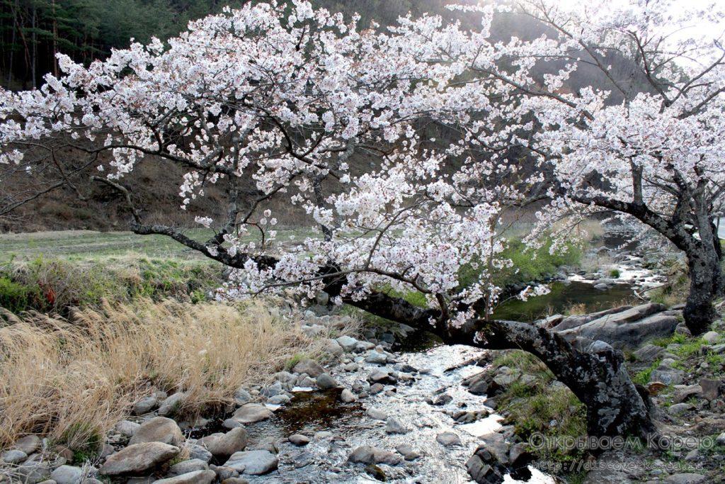 Цветение вишни в Корее6