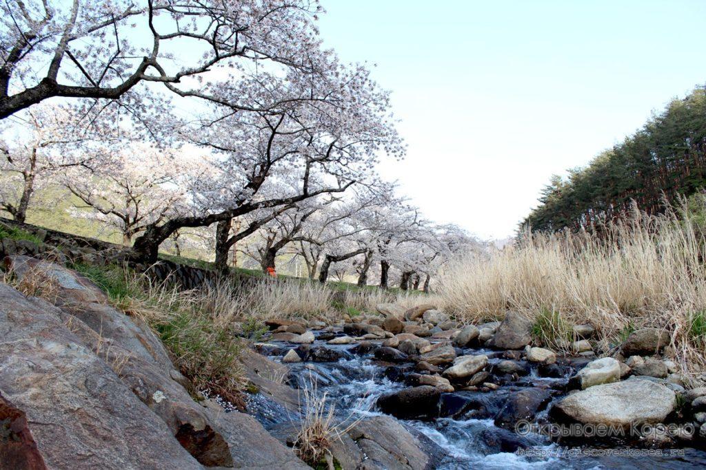 Цветение вишни в Корее7