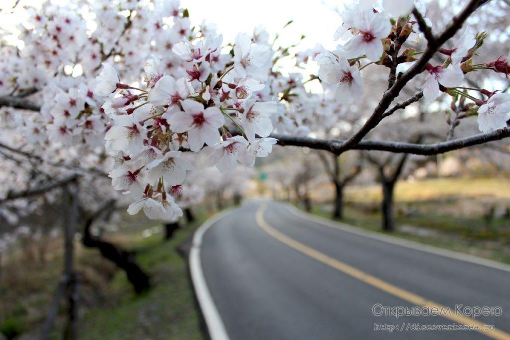 Цветение вишни в Корее8
