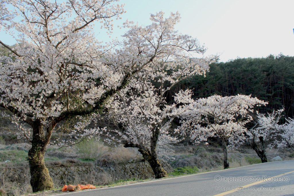Цветение вишни в Корее1