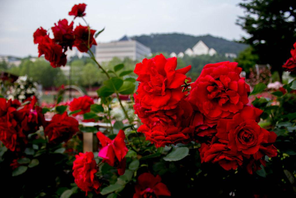 Фестиваль роз в Чосоне