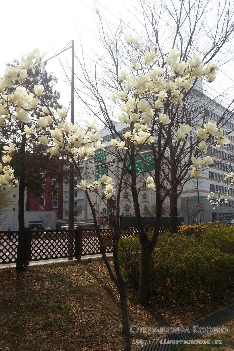 Магнолия в Корее