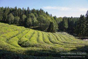 Плантации зеленого чая в Посоне