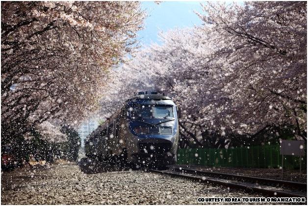 Seoul-cherry-blossoms1