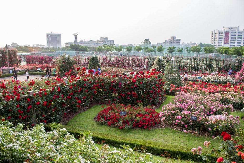Ограда из роз