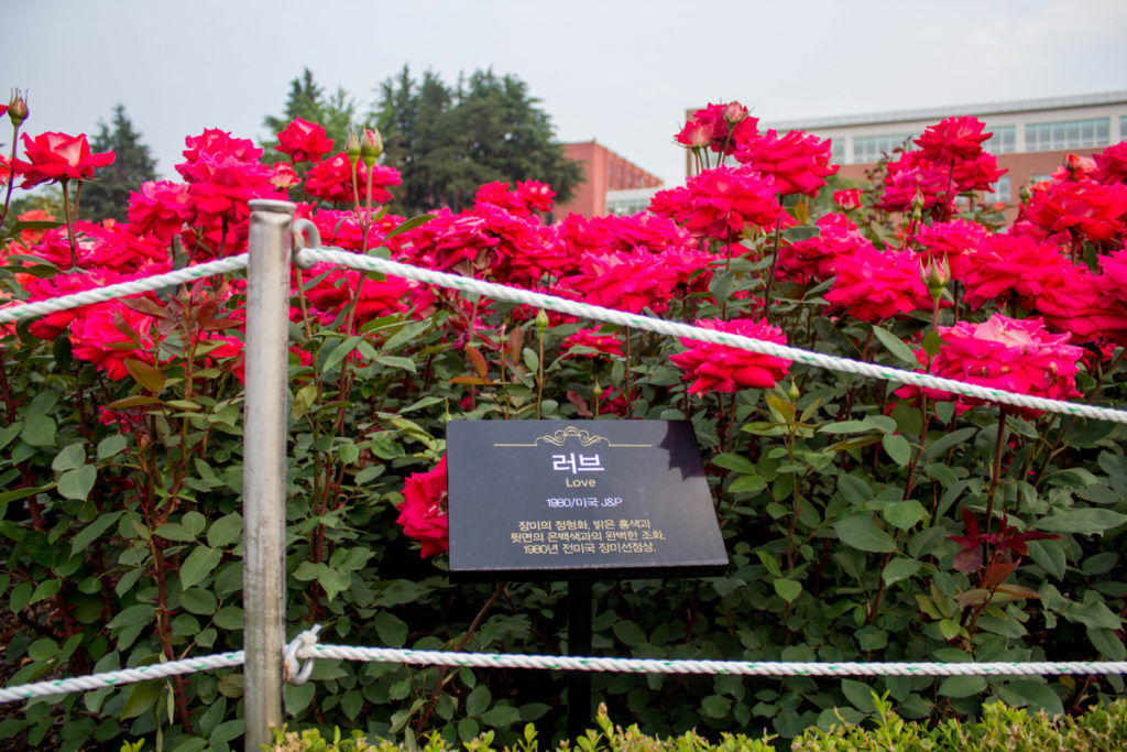 розы любовь