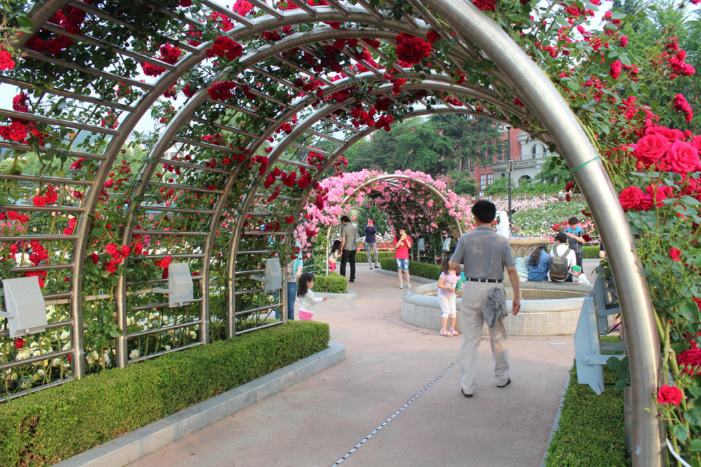 арка из роз 1